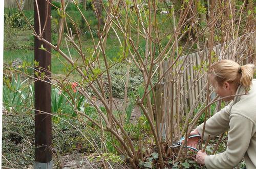 Wiosenne cięcie krzewów ozdobnych