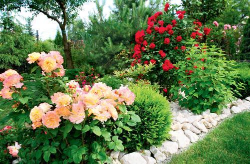 Róże – kwiaty lata